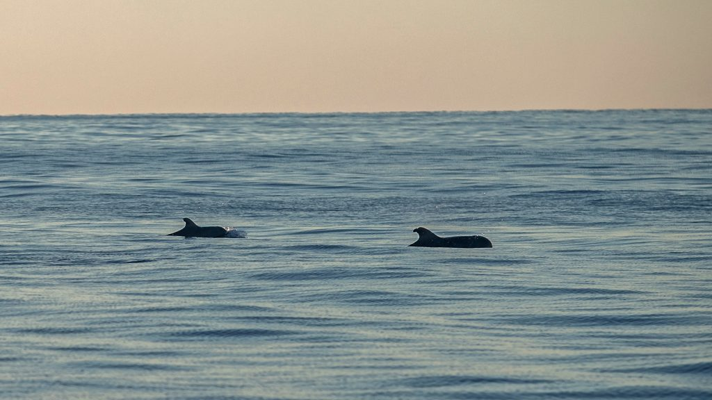 Two pilot whales swim in the ocean. The sky is light pink, and the water is pale blue. The whales are dark shadows against the water.