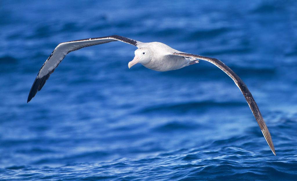 An albatross flying over the ocean